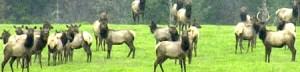 Elk in Summit County CO