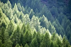 Pine Trees Conifer Colorado Area Schools