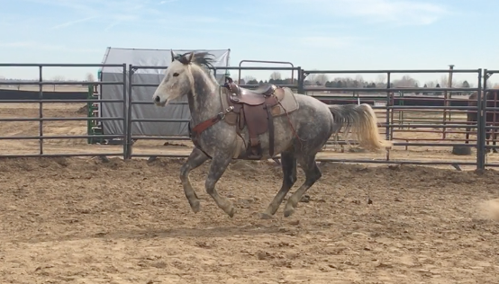 Photo of Odin cantering with a western saddle