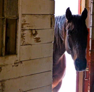 Stable door open, horse looking to see if anyone there, Douglas County CO horse properties