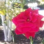National Rose Month: 5 Tips for Your Rose Garden