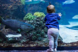Toddler looking at the large fish in aquarium.