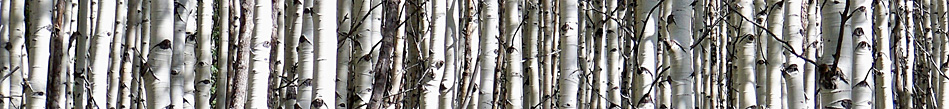 Aspen Stand in Colorado