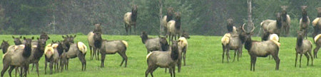 Elk in Summit County CO